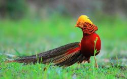 Pretty Pheasant Wallpaper