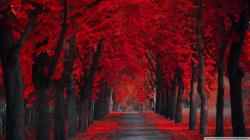 Wallpaper extremly red leaves autumn 1920 x 1080 full hd