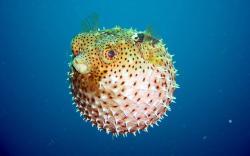 Puffer Fish Wallpaper
