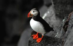 ... Free Puffin Wallpaper · Puffin · Puffin · Puffin