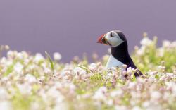 HD Wallpaper | Background ID:360994. 1920x1200 Animal Puffin