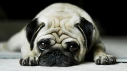 pug-cute-dog-pet-animal-1920x1080