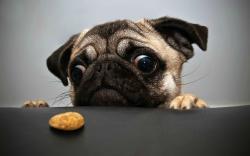 Pug Cookie