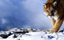 Puma cougar winter