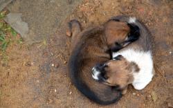Puppies mutual pillow