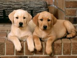 Puppy Labrador 23507 1600x900 px