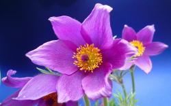 Pink Anemone Flower 26025