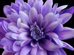 Purple Chrysanthemum   by Rachael Hickling Purple Chrysanthemum   by Rachael Hickling