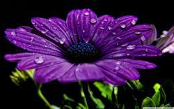 Purple Daisy 22197 1920x1080 px