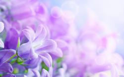 Flowers for Gt Purple Spring Wallpaper