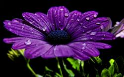 Purple flower Wallpapers-1