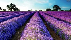 Purple Flowers 20 Desktop Background