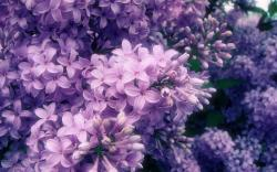 Purple Flowers Wallpaper; Purple Flowers Wallpaper ...
