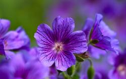 ... Purple Flowers Wallpaper ...