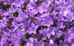 Purple Flowers 96