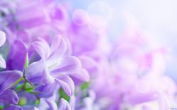 Purple Flower Wallpaper for Pc Full Hd Desktop