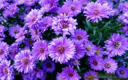 Beautiful Purple Flowers for Fall