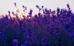 Beautiful Purple Flowers; Purple Flowers Wallpaper ...