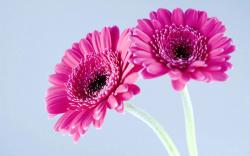 Purple Gerbera Daisies Wallpaper
