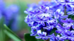 Purple Hyacinth Wallpaper in 1600x900 HD Resolutions