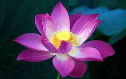 Purple Lotus Flower Meaning