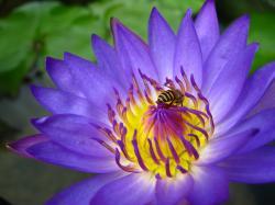 Purple Lotus by SaltyJac ...