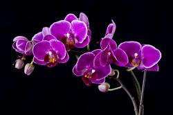 Purple Orchid Flower Images
