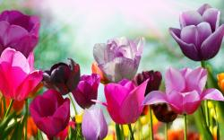 Pink Purple Tulips