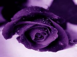 HD Wallpapers Free Purple Rose Pictures wallpaper