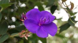 Blue tropical flower