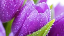 Fresh Purple Tulip Flower Flowers Wallpapers 1920x1080px