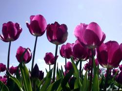 Purple Tulips 12727
