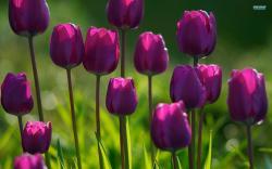 purple tulips (4)