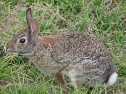 Wild rabbit us.jpg