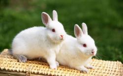 White Rabbits HD Wallpaper
