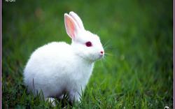 Rabbit Wallpaper 10
