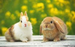Rabbit Wallpaper Desktop