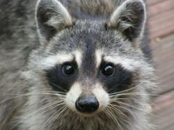 Who knew raccoons were so cute? (not my picture)