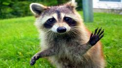 10 Funniest Raccoon Videos
