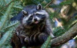 Raccoon show tongue