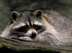 HD Wallpaper   Background ID:229357. 1600x1200 Animal Raccoon