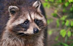 Raccoon Wallpaper 15