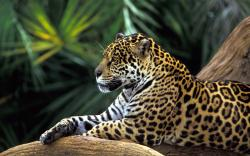 Amazon Rainforest Jaguar Wallpaper