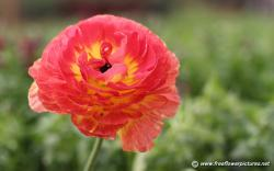 Persian buttercup; Ranunculus flower ...