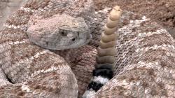 Western Diamondback Rattlesnake 2011