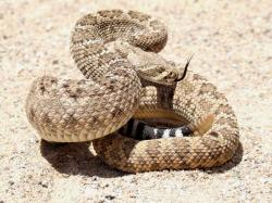 Western Diamond Back Rattlesnake, Animal Messages, Totems, spirit-animals.com