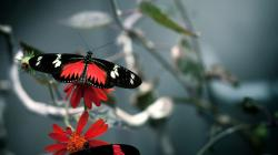 Black Butterfly Wallpaper: Red Black Butterfly Wallpaper 1920x1080px