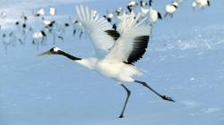 Red Crowned Cranes Japan