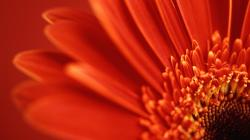 Lovely Red Daisy
