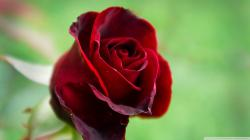 red flowers hd images cool roses background images